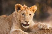 Cachorro de león macho en reposo — Foto de Stock