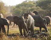 Stado słoni w kąpiele błotne — Zdjęcie stockowe