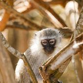 Vervet Monkey Watching Me — Stock Photo