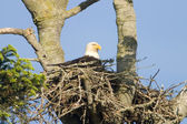 Bald Eagle In Nest — Stockfoto