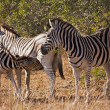 Baby Zebra Nursing — Stock Photo