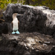 Stock Photo: Blue Footed Booby On Rock