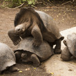 Stock Photo: Galapagos Tortoises Mating
