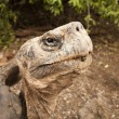 Постер, плакат: Galapagos Tortoise on Isabel Island