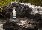 Blue Footed Booby On Rock — Stock Photo