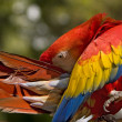 Scarlet Macaw Preening - Stock Photo