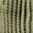 Stock Photo: Cactus Spine Pattern