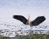 Great Blue Heron Wings — Stock Photo