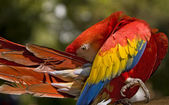 Scarlet Macaw Preening — Stock Photo