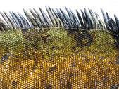 Detail of Marine Iguana Scales — Stock Photo