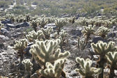 Cholla Cactus In Desert — Stock Photo
