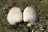 Two Clam Shells — Stock Photo