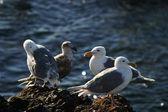 Four Seagulls — Stock Photo
