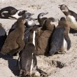Penguin Colony At School — Stock Photo