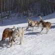 Dog Sled Team In Training — Stock Photo