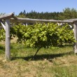 Stock Photo: Grapevine On Wood Trellis