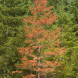 Diseased Tree In Forest — Stock Photo