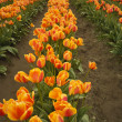 Long Row Of Orange Tulips — Stock Photo