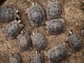 Baby Giant Tortoises — Stock Photo