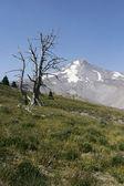 Dead Tree On Mt Hood — Stock Photo