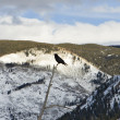 Aspen Crow In Winter — Stock Photo