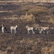 Dazzle Of Zebra On Burnt Savanna — Stock Photo