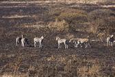 Dazzle Of Zebra On Burnt Savanna — Stock Photo