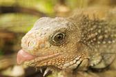 Panama Iguana Detail — Stock Photo
