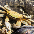 Stock Photo: Beach Crab With Mussel