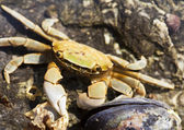 Beach Crab With Mussel — Stock Photo
