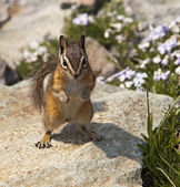 Mountain Chipmunk — Stock Photo
