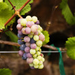 Royalty-Free Stock Photo: Grape Cluster