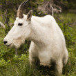 Rocky mountain goat — Stockfoto