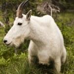 Rocky Mountain goat — Stockfoto