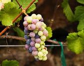 Grape Cluster — Stock Photo
