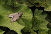 Grey moth on green leaves — Stock Photo
