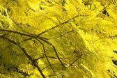 Jacaranda Leaves — Stock Photo