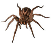 Wolf Spider Head On — Stock Photo