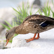 Stock Photo: Mallard Duck - female
