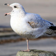 The Vocal Seagull — Stock Photo