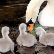 Mother Swan And Her Young — Stock Photo #7683794