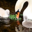 Stock Photo: Mother Swan And Her Young