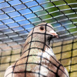 Stock Photo: Caged Pigeon