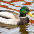 Mallard Duck - male — Stock Photo