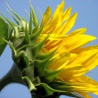 Bright Cheery Sunflower — Stock Photo