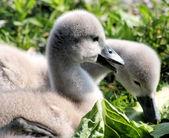 Baby Mute Swans — Stock Photo