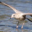Stock Photo: Seagull Landing On Lake