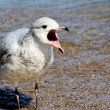 The Squawking Seagull — Stock Photo #7955937