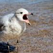 The Squawking Seagull — Stock Photo
