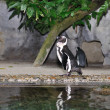 Stock Photo: Humboldt Penguin, Spheniscus humboldti